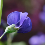 indigo blue plant